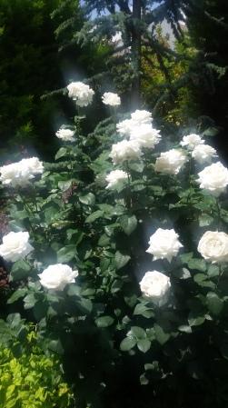 roses2016